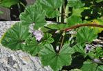 Dwarf Mallow (Malva neglecta)